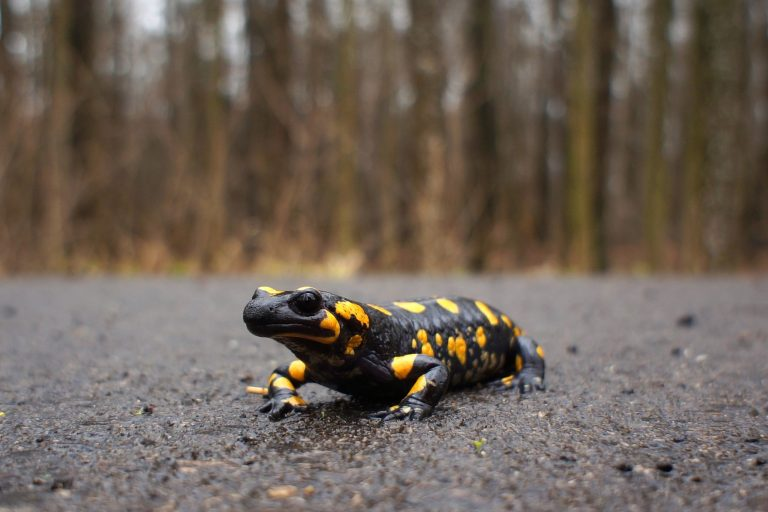 Salamandre tâchetée
